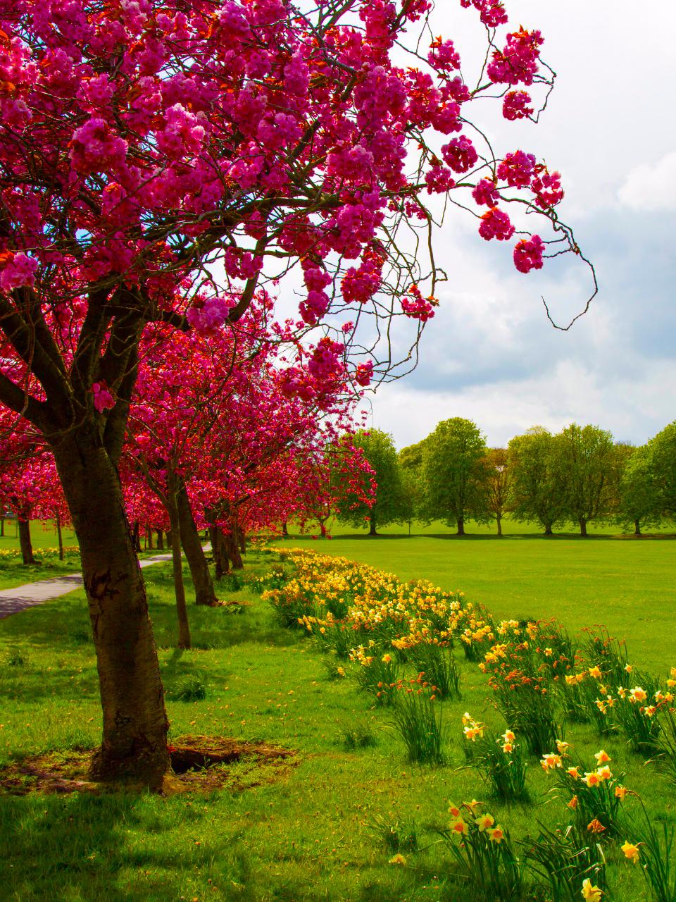 Blossoming cherry tree 14661800345ra